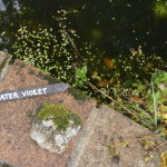 Water Violet Growing in the pond